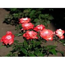 Троянда чайно-гібридна Ред Ностальжі (ІТЯ-297)