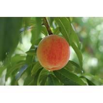 Персик Лаурол (пізньостиглий сорт)