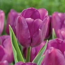 Тюльпани тріумфи Purple Flag (АТП-210) за 2 шт.
