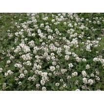 """Насіння Конюшина біла """"газон для лінивих"""""""