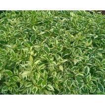 Дерен Аlba Elegantissima (ОКН-166) за 2-4 л