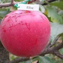 Яблуня Еліза (зимовий сорт)