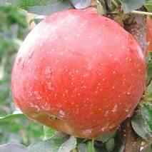 Яблуня Фуджі