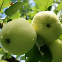 Яблуня Білий налив (ІЯБ-21)