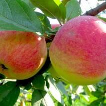 Яблуня Мельба