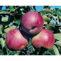 Яблуня Флоріна (зимовий сорт)