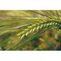 Семена ярового ячменя Водограй (Элита)