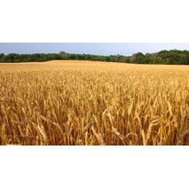 Семена пшеницы Гарантия Одесская (Суперэлита)