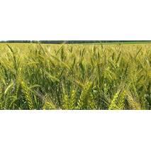 Семена озимой пшеницы Лира Одесская (Первая репродукция)