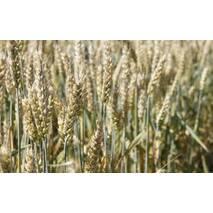 Семена пшеницы Новосмуглянка (Элита)