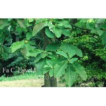 Магнолія Оберненояйцевидна 2 річна, Магнолия Обратнояйцевидная, Magnolia obovata