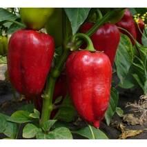 Перец сладкий Анастасия за 0,3 г (ЕПР-21)