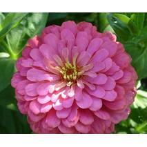 Цинія Роза за 0,5 г (ЕНК-173)