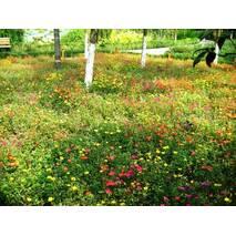 Трава газонна Мавританська за 50 г (ЕГТ-5)
