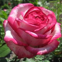Троянда чайно-гібридна Атракта (ІТЯ-246)