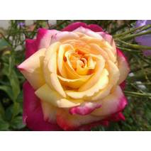 Троянда чайно-гібридна Пульман оріент експрес (ІТЯ-345)