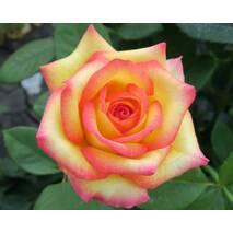 Троянда чайно-гібридна Амб'янс (ІТЯ-3)