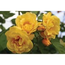Троянда плетиста Голден Шауерс (ІТЯ-97)