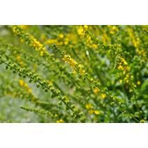 Екстракт трави парила купити в Києві
