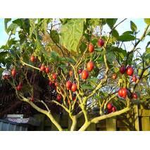 Томатне дерево Тамарільйо (ІКМ-23) за 0,5-1,5 л