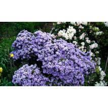 Рододендрон щільний Blue Tit 2 річний, Рододендрон плотный Блю Тит, Rhododendron Blue Tit