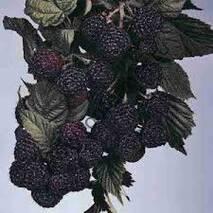 Черная малина Мангер