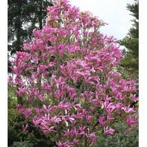 Магнолія гібридна Susan 80-120см, Магнолия гибридная Сюзан / Сузан, Magnolia hibrida / hybrids Susan