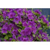 Азалія японська Geisha Purple 3 річна, Азалия японская /рододендрон Гейша Пурпл, Azalea japonica Geisha Purple