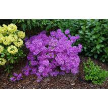 Азалия японская Blue Danube 4 годовая, Азалия японская Блю Данубе, Rhododendron /Azalea japonica Blue Danube