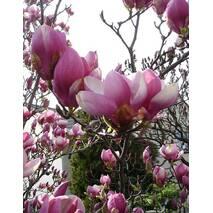 Магнолія Суланжа Rustica Rubra 2 річна, Магнолия Суланжа Рустика Рубра, Magnolia X soulangeana Rustica Rubra