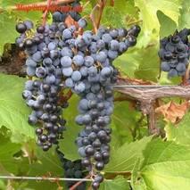 Саженцы винограда сорт Фронтиньяк Гри