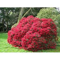 Рододендрон Baden-Baden 3 річний, Рододендрон Баден Баден, Rhododendron Baden-Baden