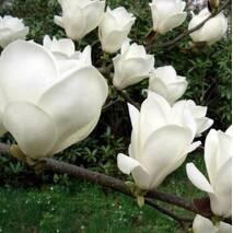 Магнолія Суланжа Alba Superba 2 річна, Магнолия Суланжа Альба Суперба, Magnolia X soulangeana Alba Superba