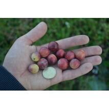 Саженцы клюквы Пилигрим, 2-летняя, контейнер 1 л