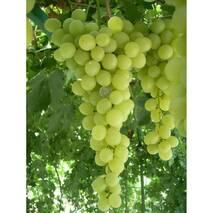 Виноград Антоній Великий (ІВН-92)