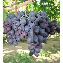Виноград Бруно (ІВН-84)