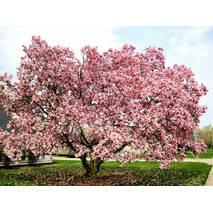 Магнолія Суланжа Рожева з насіння 2 річна, Магнолия Суланжа Розовая из семян, Magnolia X soulangeana