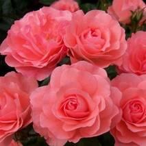 Троянда дрібноквіткова Лінда