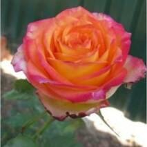 Роза чайно-гибридная Утопия