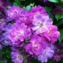 Троянда плетиста Вейченблау