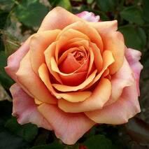 Троянда чайно-гібридна Черри Бренді