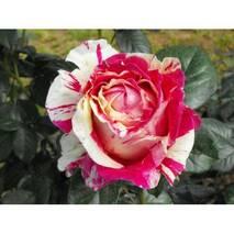 Троянда плетиста Ванила Фрайз