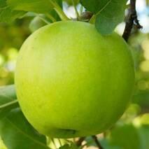 Саженцы яблони сорт Мутсу