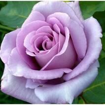 Саджанці троянд сорт Blue Moon (Блю Мун)