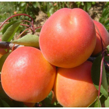 Саженцы абрикоса сорт Том Кот