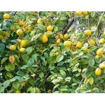 Саженцы айвы сорт Лимонная