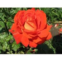 Саджанці троянд сорт Верано (Verano)