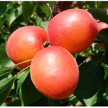 Саженцы абрикоса сорт Приция
