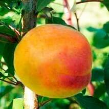 Саженцы абрикоса сорт Шедевр