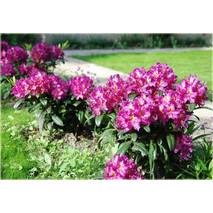 Рододендрон гібридний Libretto 3 річний, Рододендрон гибридный Либретто, Rhododendron Libretto